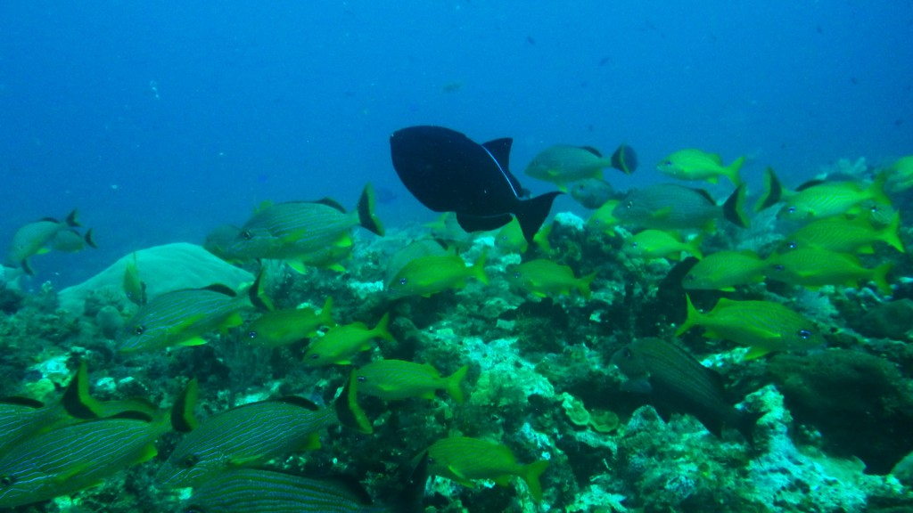 Fish in the Great Mayan Reef